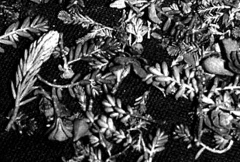 ZinCo Sedumsprossen Mischung mindestens 4 verschiedene Arten