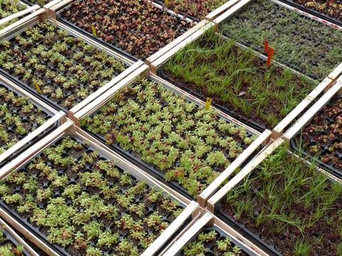 ZinCo Flachballenpflanzen FB50 Sedumteppich 50 Pflanzen je Platte